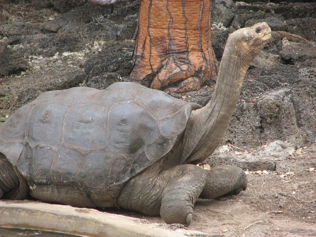 The last of his kind, a Pinta Island Tortoise named Lonesome George died this weekend in his pen at a research facility. His exact age isn't known, but he was estimated to be over 100.
