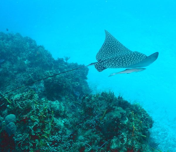 Eagle rays are beautiful and can have wing spans of 6 ft.  Amazing to see personally.
