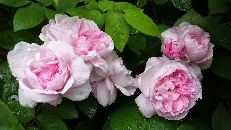 VÅRLI : Den vakreste rosa Fantin Latour - Blommig Fredag