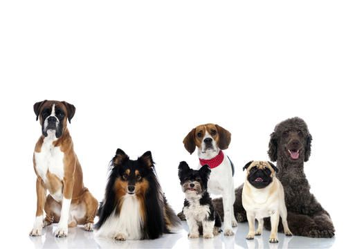 Top 10 dog breeds - Top dog breeds in the U.S. - Pictures - CBS News