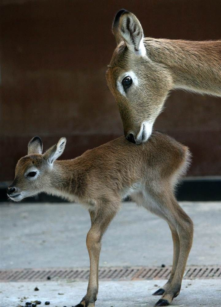 Magical Nature Tour • A three-day-old Lechwe antelope stands next to its...