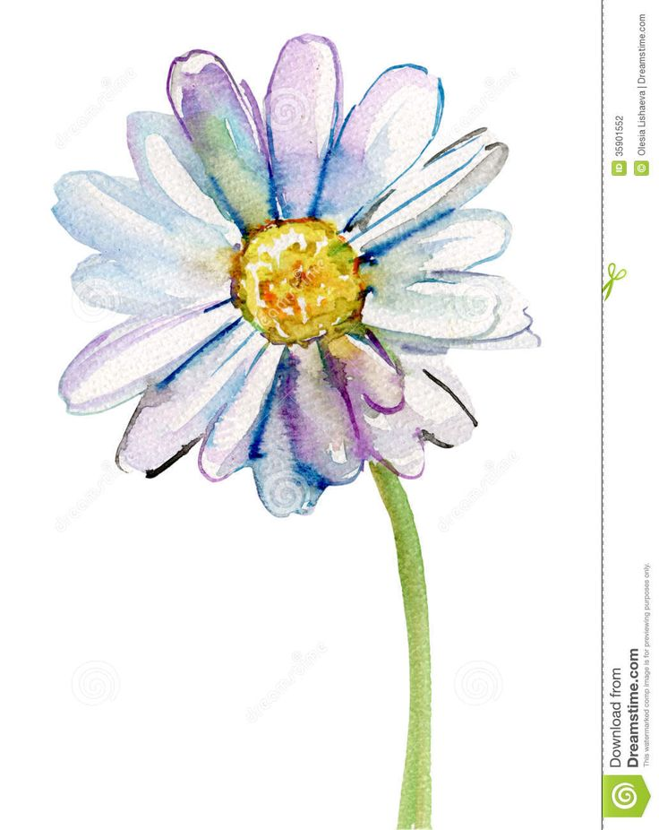 Camomile flower, watercolor illustration
