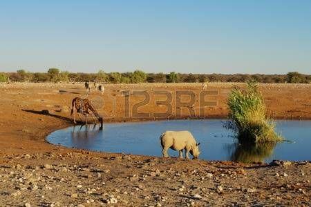 rhino: Rhino and giraffe drinking