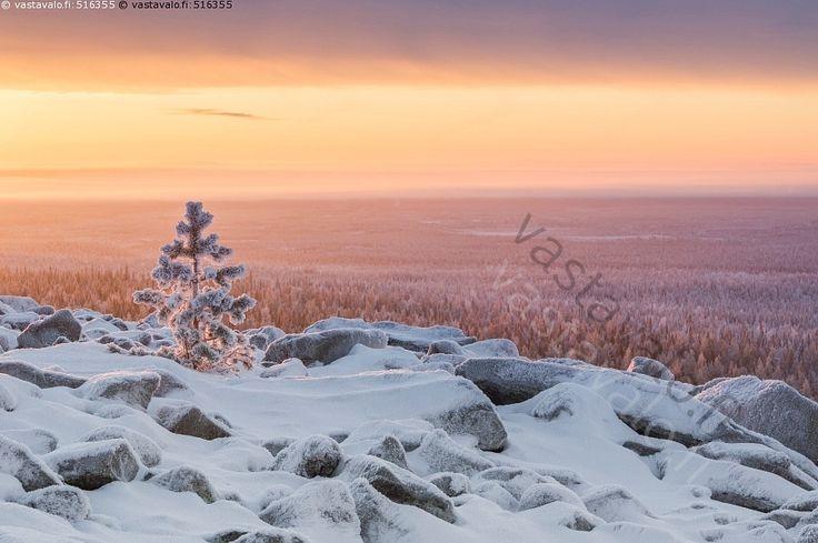 Pikku mänty - mänty taimi jäässä lumi talvi aamurusko kivet tunturi metsä avara lumi pilvi taivaanranta