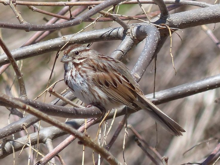 http://faaxaal.forumgratuit.ca/t1827-photo-d-oiseau-bruant-chanteur-melospiza-melodia-song-sparrow-fringilla-melodia#7398