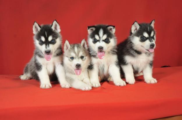 Miniature Siberian Husky Puppies