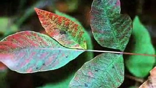 Controlling Poison Ivy and Poison Oak on Your Property | Bayer Advanced