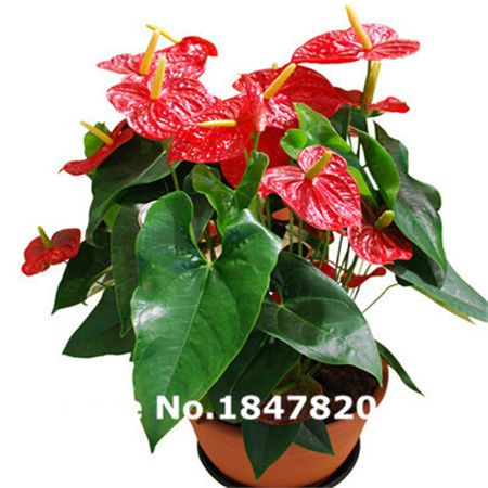 AAA Rare Anthurium Seeds, 10 Kinds 100 Mix Colors Flower Seeds, High  Survival Rate