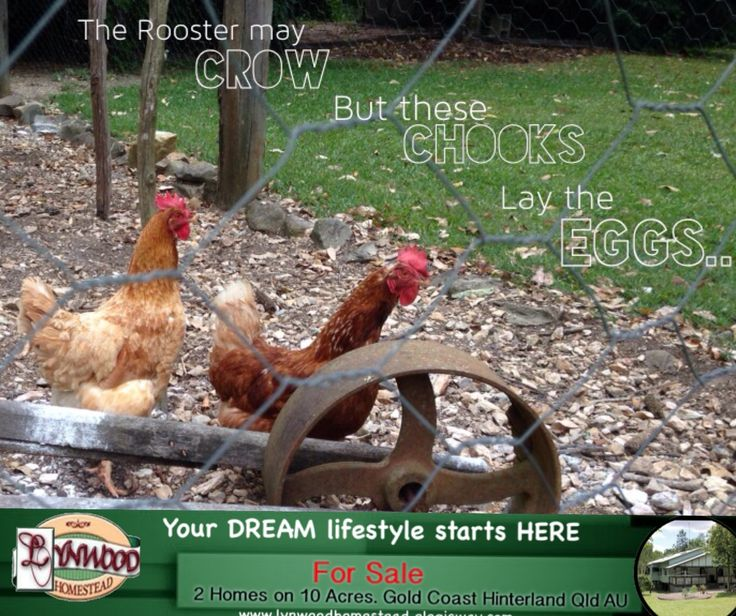 Chooks are great entertainment for kids and adults alike. There's nothing like having a cuppa outside on a sunny day watching the girls scratch around, chase insects, make funny noises and have their dirt baths. Your DREAM lifestyle start here..#chooks #chickens #freerange #HomesForSale #ForSale #2QueenslanderHomes #MultiFamily #LifeStyleChange #StartYourOwnBedandBreakfast #SharedLiving #TreeChange #GoldCoast.. Visit  http://lynwoodhomestead.elogicway.com