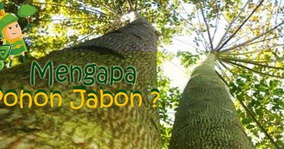 http://www.greenwarriorindonesia.com/2016/03/mengapa-pohon-jabon.html