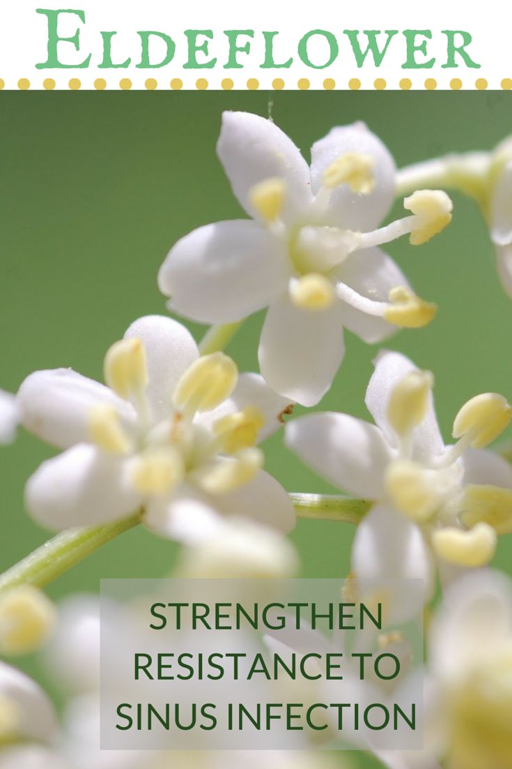Elderflower grows into a graceful shrub or small tree with creamy coloured flowers and dark red berries that are rich in vitamin C. An infusion or tincture of the flowers can be taken internally to strengthen resistance to sinus infection