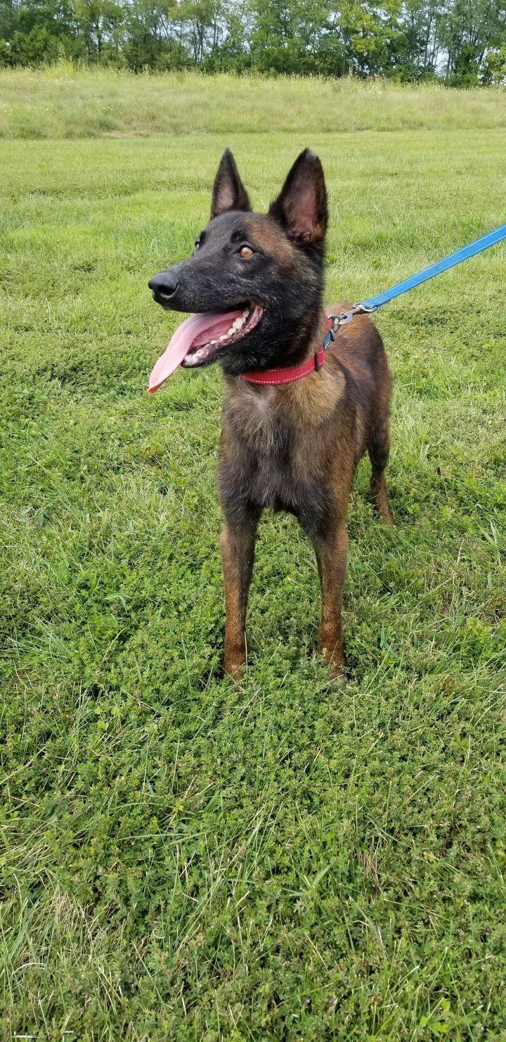 Adopt Dante on Malinois dog, Belgian shepherd, Belgian