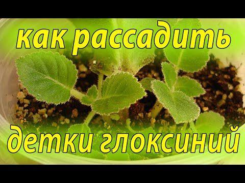 Как рассадить детки глоксиний. От одного листа два ростка !