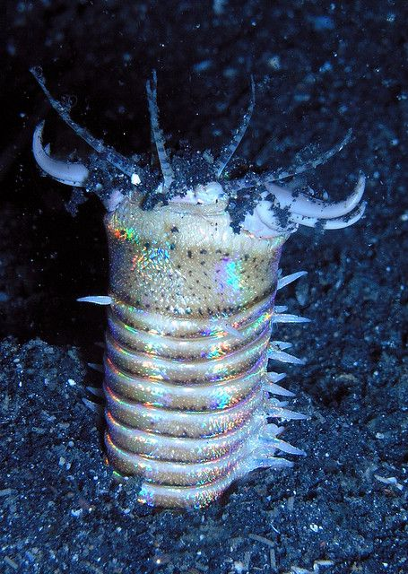 The Bobbit worm, Eunice aphroditois, is a ferocious underwater predator. Armed with sharp teeth, it is known to attack with such speeds that its prey is sometimes sliced in half. Though they do vary in size, they have been recorded to grow up to nine feet tall.