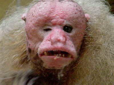 Los monos Uakari generalmente se encuentran en los bosques inundables conocidos como igapó y várzea, pero la nueva especie se localizó en una región montañosa. El mono fue nombrado Cacajao ayresii en honor a José Márcio Ayres, un biólogo brasileño que trabajaba para la Sociedad para la Conservación de la Fauna Silvestre.