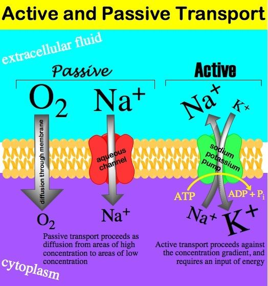 osmosis across the cell membrane occurs through channels - Google Search