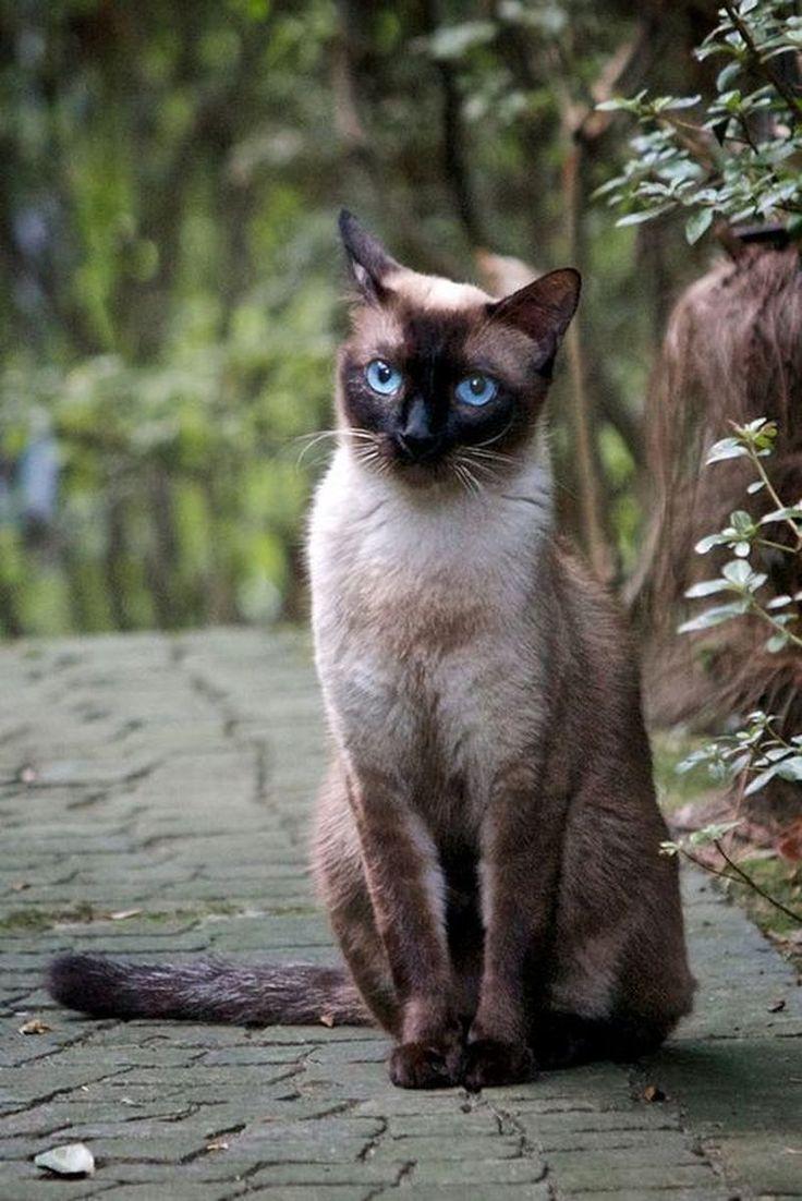 siamés tradicional o thai / thai cat or traditional Siamese cat http://es.wikipedia.org/wiki/Siam%C3%A9s_tradicional http://en.wikipedia.org/wiki/Thai_%28cat%29
