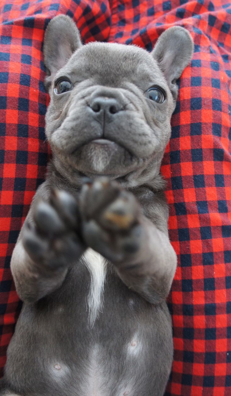 Sweet blue french bulldog puppy, Felipe. #frenchie