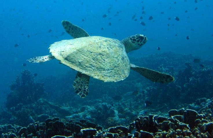 Hawksbill turtle-Diversia Diving Gili Trawangan Lombok Indonesia