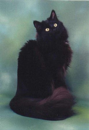 norwegian forest cat...have we found Addie's heritage?  :o)