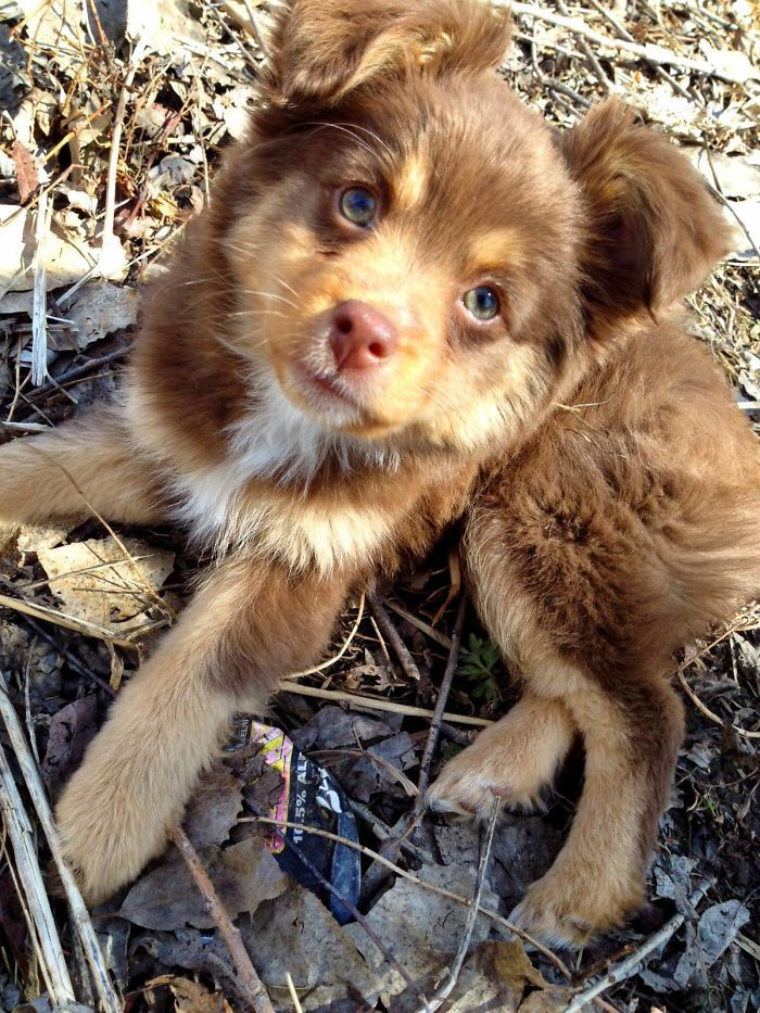 Meet Our New Mini Australian Shepherd Java Cute Baby Animals
