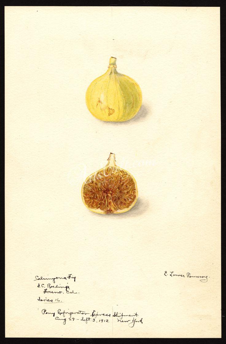 7439-Ficus-Calimyrna fig      ...