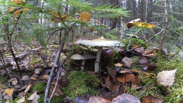 "Mushrooms ""Stropharia aeruginosa"" in the forest in Russia"