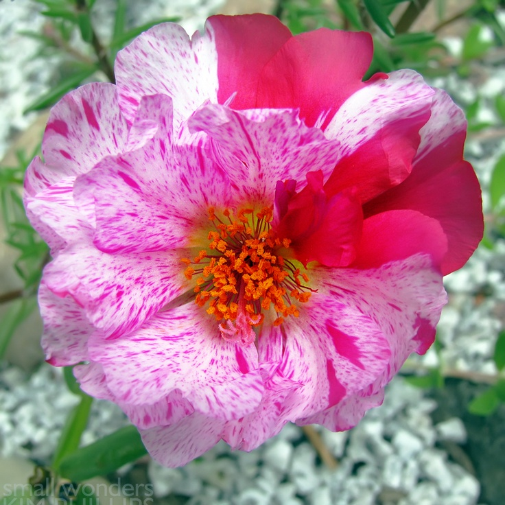 Moss Rose (Portulaca grandiflora) Common names: Moss-rose, Moss-rose Purslane. Annual flowering, succulent groundcover. Zones: 2 - 11. Height: 4 - 8 inches. Width: 6 - 12 inches. Bloom time: June - Frost. Bloom Color: Red, Rose, Orange, Yellow and White.     Light: Full Sun. Water: Dry - Well Drained Soils. Good for Dry soils. Edging, ground cover, rock gardens, containers. Native Range: Argentina, southern Brazil, and Uruguay.