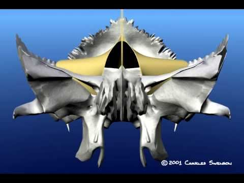 Craniosacral movement animated.  Watch closely, as the movement is slight.