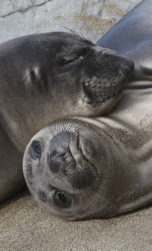 •♥•✿ڿڰۣ(̆̃̃•Aussiegirl  #LOVE Elephant Seal Pups