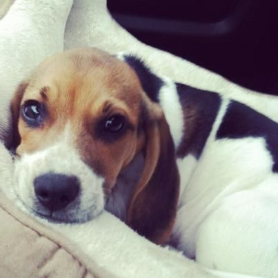 Here's a picture of my little beagle Banjo, hope his sweet face brings a smile to your's :)