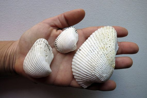 11pcs Natural white Ark Clam Seashells  by MrsBeachComber on Etsy