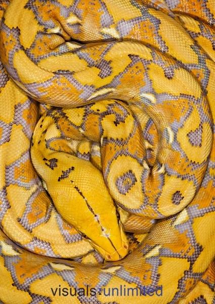 Reticulated Python (Python reticulatus) by Michael Kern