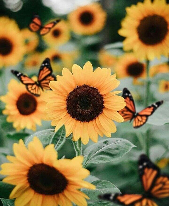 Iphone Wallpaper: Sunflowers 🌻 And Butterflies 🦋