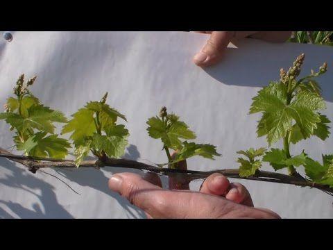 Нормирование виноградного куста побегами. Комментируйте, ставьте лайки. Стать партнёром ЮТУБ http://www.air.io/?page_id=1432&aff=24