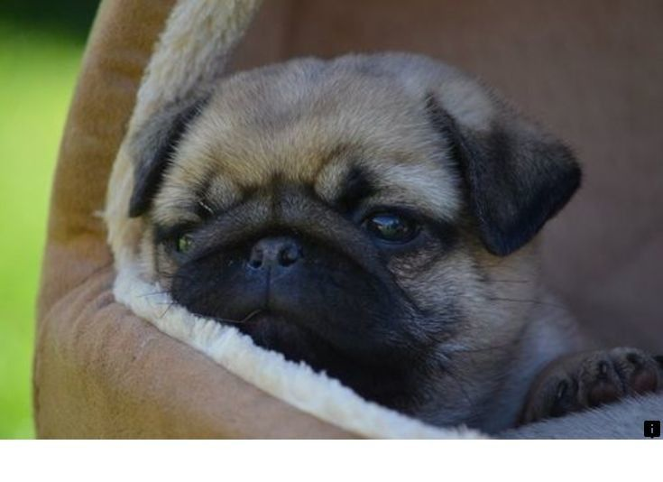 Read Information On Miniature Pug Simply Click Here To Read More