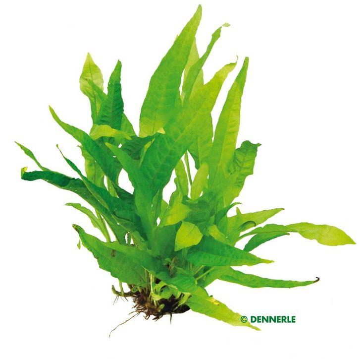 Nota anche come felce di Giava, questa pianta è una tra le più diffuse negli acquari