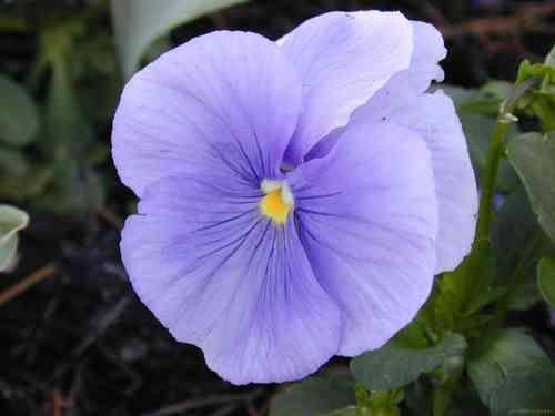 Pensamiento (Viola Witrockiana) color lila en maceta de 11 cm ø - Garden center venta online. Comprar plantas online, bonsais, mesas huerto urbano, rosales, árboles