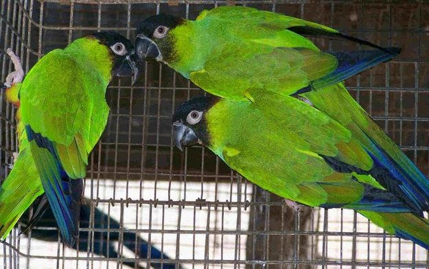 Nanday conuresAnimal Pictures, Hippa Du, Du Everyday, Parrots Training, Nanday Conure, Beautiful Birds, Beautiful Feathers, Feathers Friends