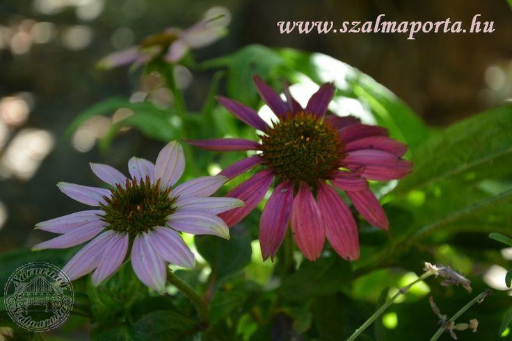 Echinacea #gyógynövény