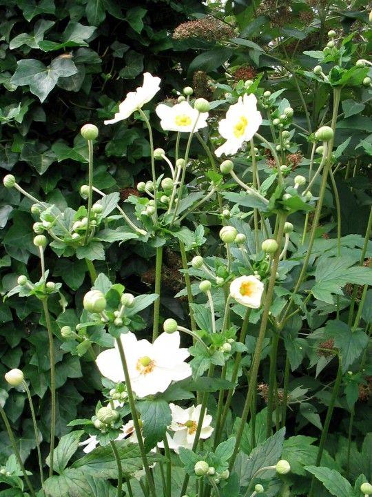 Anemone 'Honorine Jobert´ - Herfstanemoon | Tuinen van Appeltern
