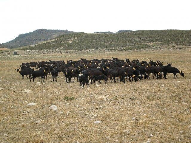 Alimentar cabras murciano-granadinas con un pasto gigante reduce el coste de producir la leche
