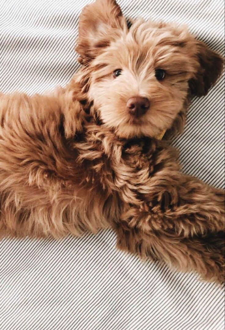 Cutest Doodle In 2020 Cute Baby Animals Cute Dogs Animals