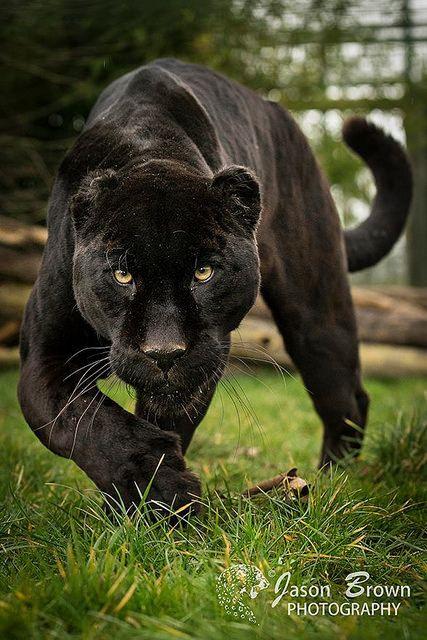 black jaguar by jasonbrownphotography on flickr black jaguar