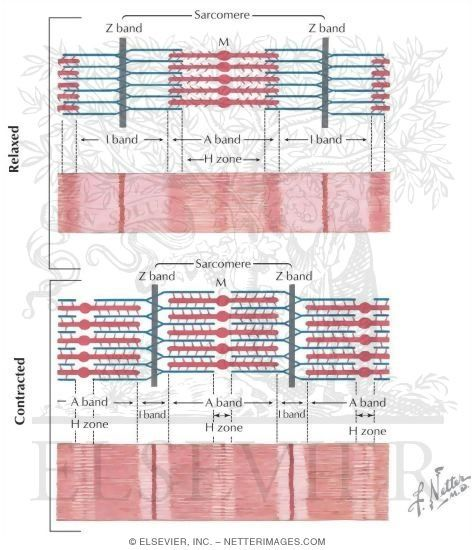 Muscle contraction and relaxation. Interdigitation of thick and thin filaments allows sarcomere contraction, which is best explained by the sliding filament model in which actin filaments slide along myosin filaments. During contraction, both sets of filaments retain their normal length, A bands remain unchanged in length, I bands shorten, and H zones are narrowed.