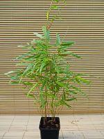 Bambus: Fargesia rufa P9 30/40