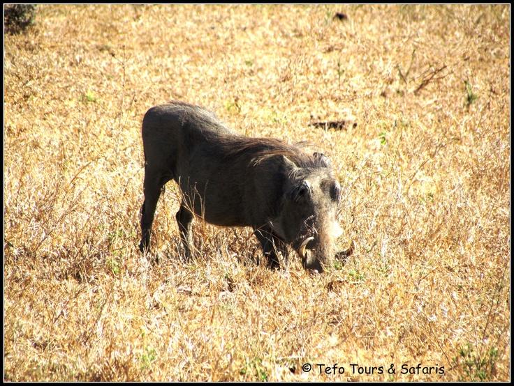 Warthog seen close to Satara Restcamp in Kruger Park. Join us on a 5 Day Kruger Park Safari contact: carina@tefotours.com