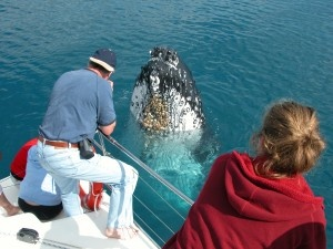 Humpback whales in Hervey Bay - Queensland - AU