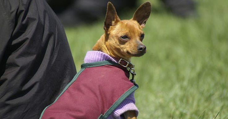 Cómo hacer ropa para chihuahua en casa. Los chihuahuas son perros pequeños por lo general de no más de 2 a 10 libras (0,9 a 4,5 kg) de peso. Hay dos tipos de chihuahuas, de pelo corto y de pelo largo. Los de pelo corto, especialmente los pequeños, a veces necesitan un poco de calor extra para mantenerse cómodos. Ya sea que quieras hacer suéteres, abrigos, trajes o camisetas, es fácil ...