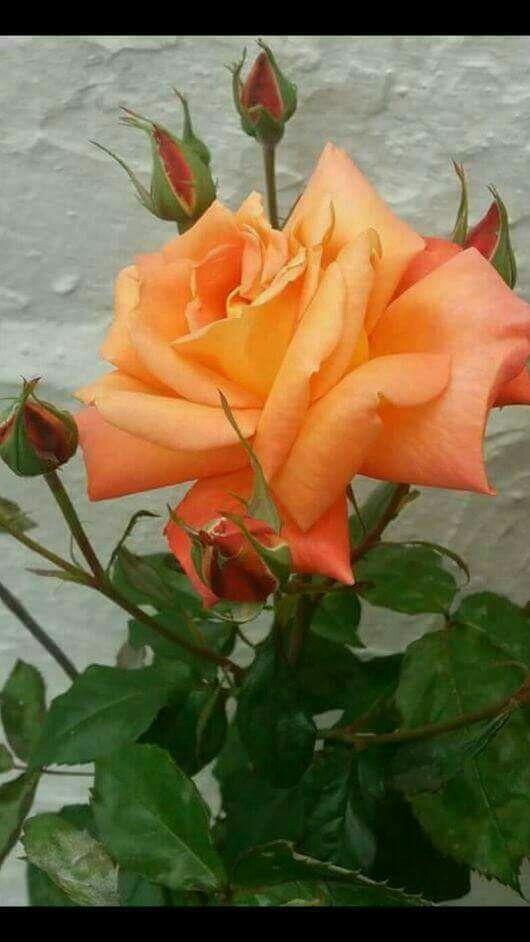 Beautiful Rose ❤️